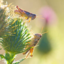 grasshoppers stock 2