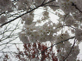 Cherry Blossoms by Penguino170