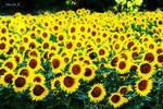 hello sunflowers.