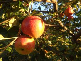Sun-Ripened Apple by PTPenguino