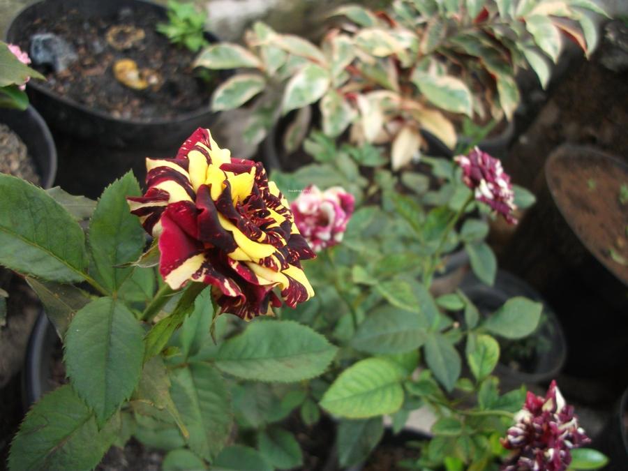 Batik Rose by lisa-adrina