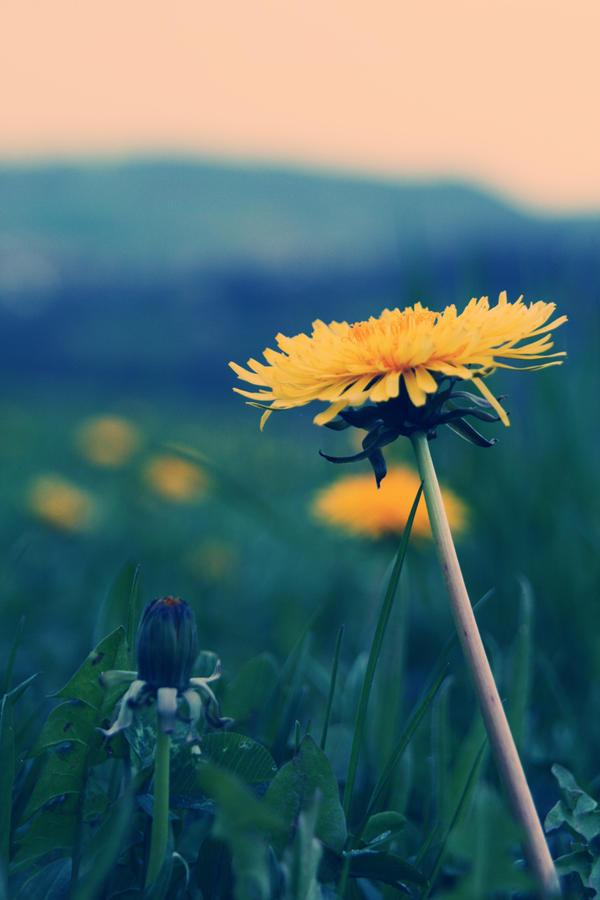 Dandelion by LastAutumnShade