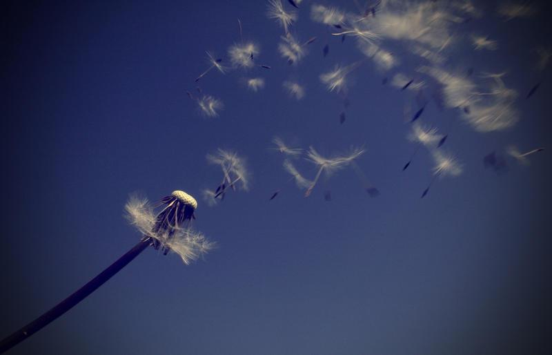 """Obrázok """"http://fc02.deviantart.com/fs25/i/2008/131/8/a/_dandelion_blowing_in_wind__by_LastAutumnShade.jpg"""" sa nedá zobraziť, pretože obsahuje chyby."""