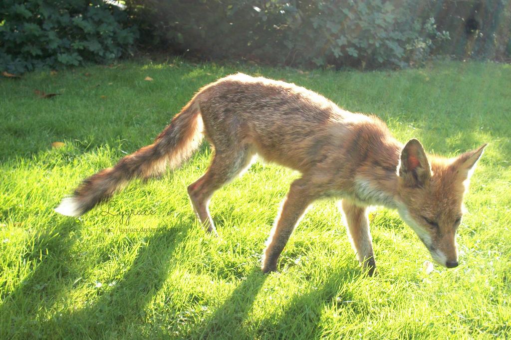 Fox in light by Lygrace