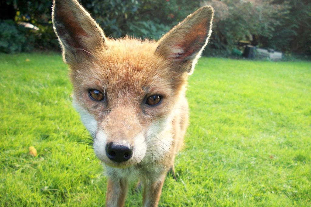Fox close up by Lygrace