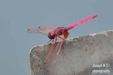 dragonfly by josephmsi