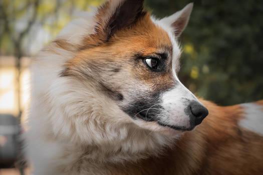 Baldur - Icelandic Sheepdog