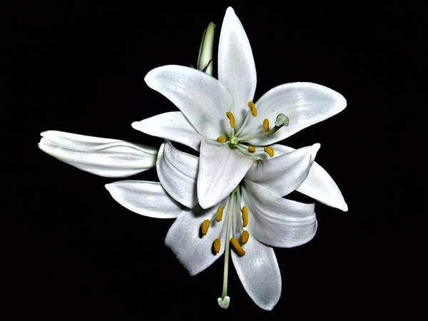 White Lily by BilgEmeL