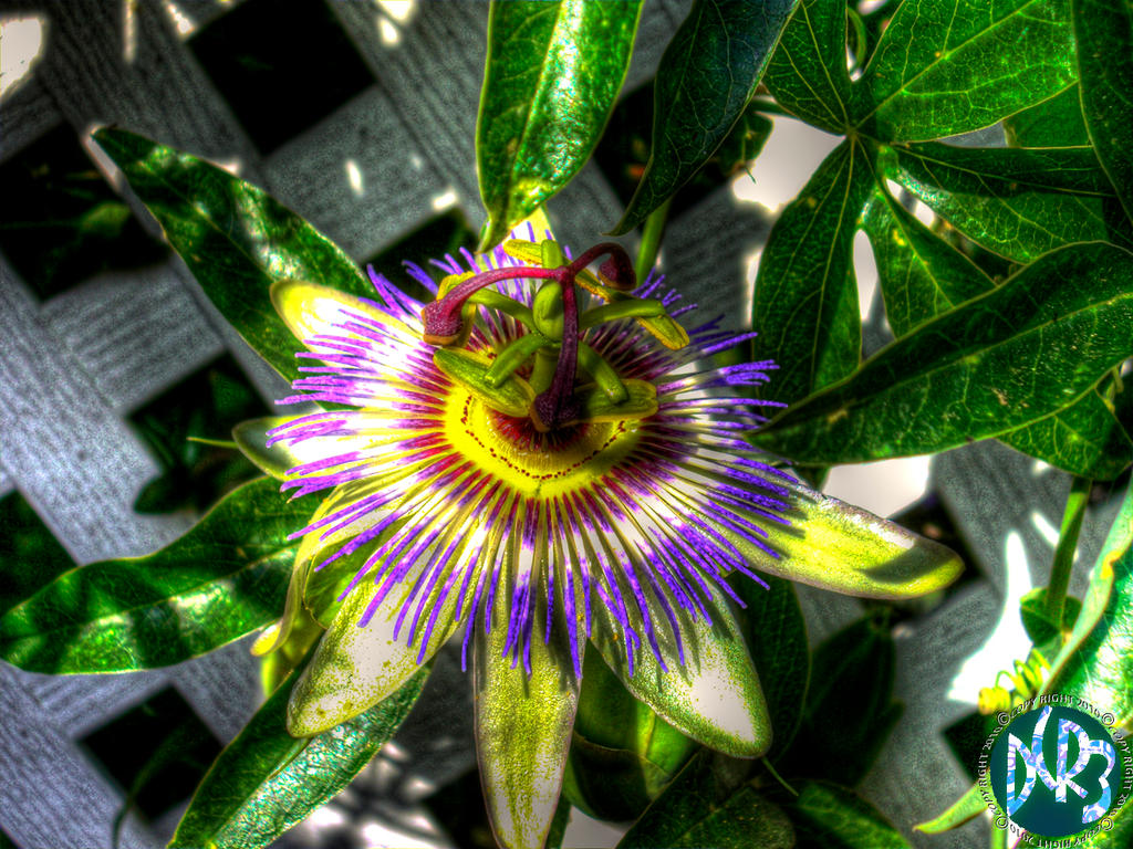 Passion Fruit Flower By Dcriii On Deviantart