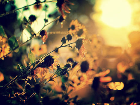 Macro Flowers sunset