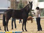 Finnish warmblood mare