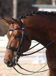 Finnish warmblood stallion