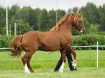 Welsh pony of Cob type stallio