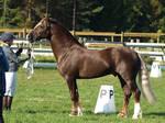 Welsh cob stallion