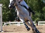 Irish sport horse 1