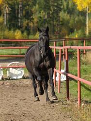 Trakehner mare gallop by wakedeadman