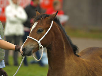 Welsh c foal by wakedeadman