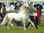 Welsh mountain stallion