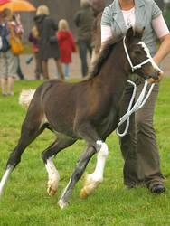 welsh c foal 2 by wakedeadman