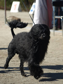 Portuguese water dog male