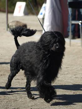Portuguese water dog male