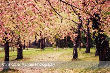 Tidal Basin Blossoms in Rain (2) by DJBIG