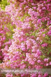 Wall of Lilacs by DJBIG