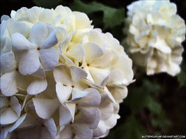 White by ButtercupJAP