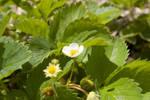 Strawberry Blossom by Nailkita