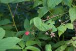Wild Raspberries by Nailkita