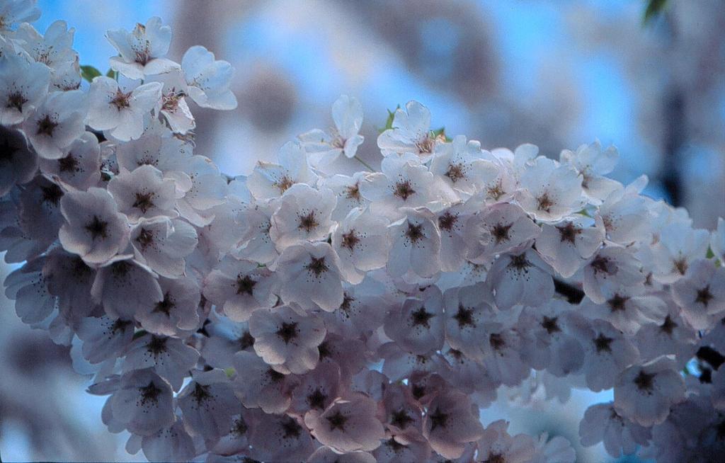 Cherry blossom 3 by BenoitAubry