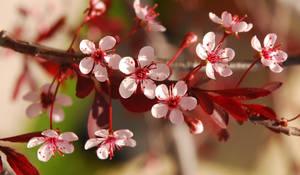 Plum Leaf Sand Cherry