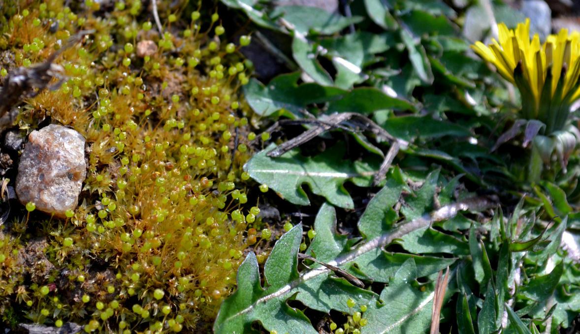 Goblet Moss Sporophytes and Dandelion by wondrousbutstrange