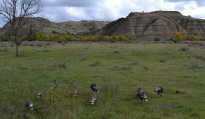 Turkeys in the Badlands