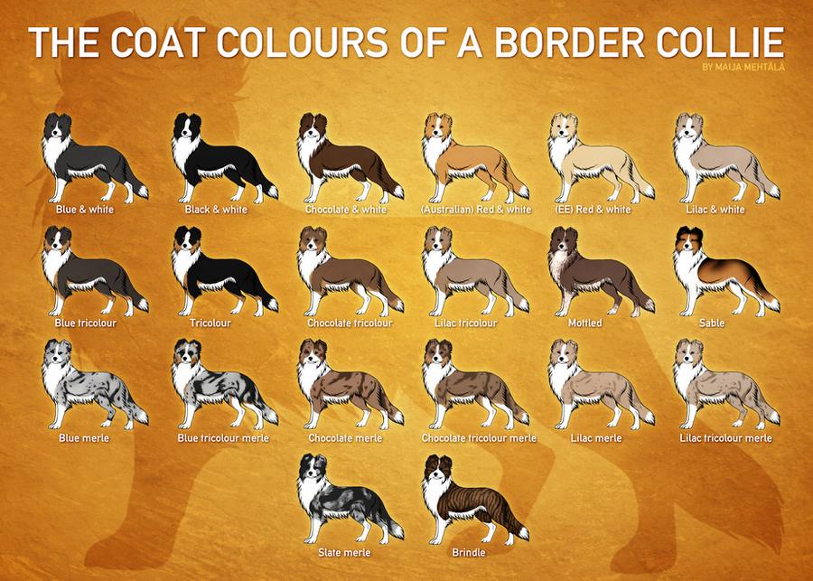 Rare border collie colors pictures