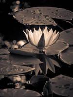 Pond Lily by JoeGP