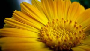 Calendula officinalis by JoeGP