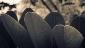 Acacia leaves by JoeGP