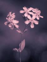 Purple-Pink by JoeGP