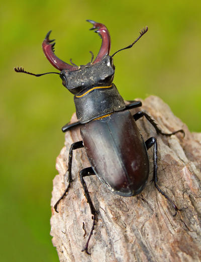 Stag Beetle by JoeGP