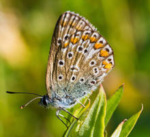 Common Blue Butterfly by JoeGP