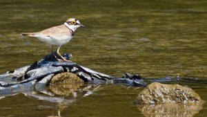 Little Ringed Plover by JoeGP