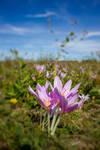 Naked Lady iris blur