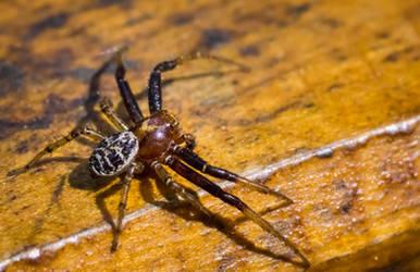 Spider Doe