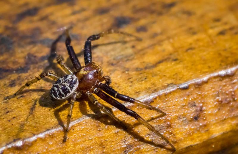 Spider Doe by JoeGP