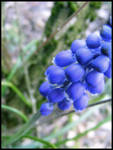 - Blue grape - by MissYDeb