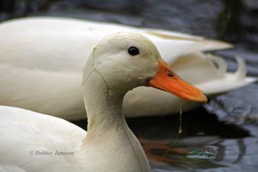 fishing duck