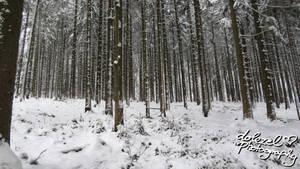 Schneebedeckter Wald / Forest covered in Snow