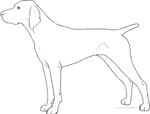 Free Lines - German Shorthair Pointer