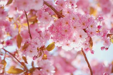 Sakura by littlemewhatever